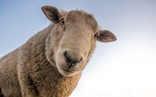 纽奥运选手佩戴国产羊毛口罩赴日参赛