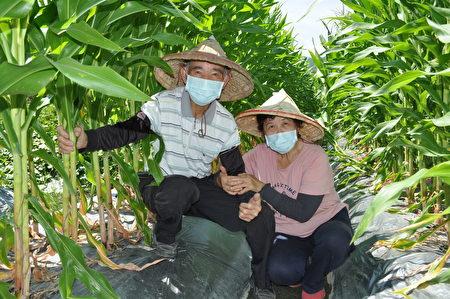 徐坤漳与老伴黄宝珠鹣鲽情深,两人携手巡守有机玉米田,是每天最快乐时光!