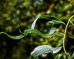 民間出天子的異象 桑樹如華蓋 蟲蝕柳葉出文字