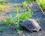 英國寵物龜離家出走 一年只走了1公里