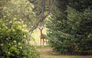 鹿又来吃树篱了!哈特谷的居民快烦死了