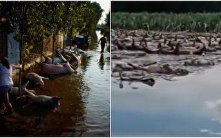 【一线采访】开封洪灾 一村漂上万死猪