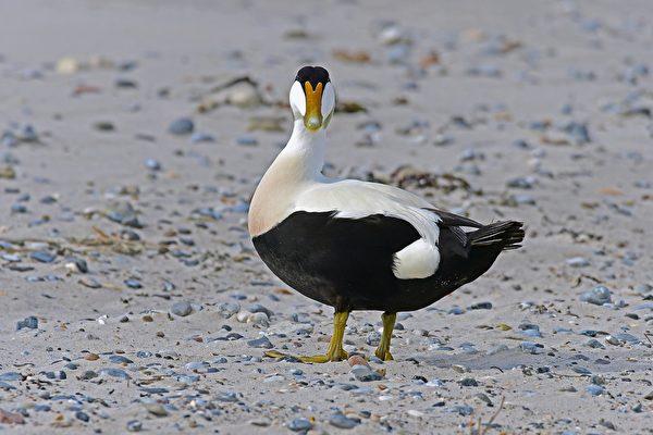 这种冰岛鸭子拥有世界最贵的羽绒 众人争抢