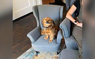 愛「偷」主人工作椅的粘人狗 得到迷你扶手椅