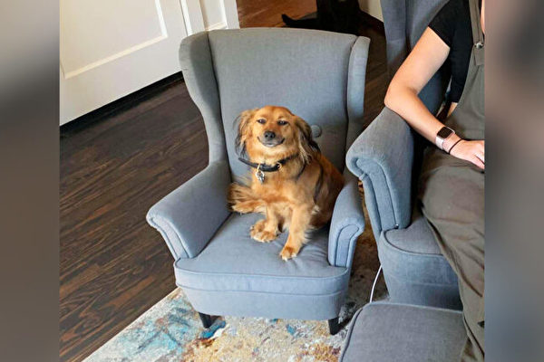 """爱""""偷""""主人工作椅的粘人狗 得到迷你扶手椅"""