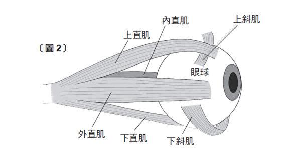 眼球的上下左右有六条肌肉支撑着,这六条肌肉总称为眼外肌。(三采文化提供)