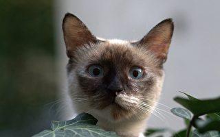 疫情后高价猫咪需求飙升 以下8种最受欢迎