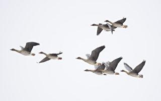 拍到雁鸟倒立飞行 荷兰男子目瞪口呆