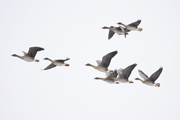 拍到雁鳥倒立飛行 荷蘭男子目瞪口呆