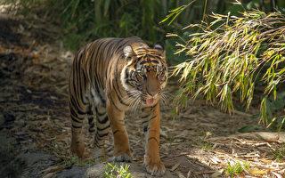 聖地亞哥動物園老虎感染新冠病毒