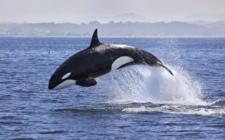 虎鯨擱淺美國岩岸 幸遇善心人士搭救