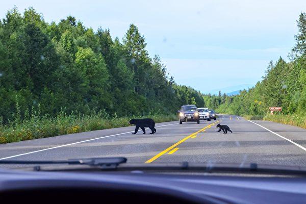 熊妈妈带四只顽皮幼崽过马路 场面相当逗趣