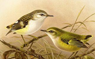 百年來 新西蘭最小的鳥在惠靈頓再次被發現