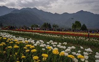 組圖:印度斯利那加鬱金香花園為亞洲最大
