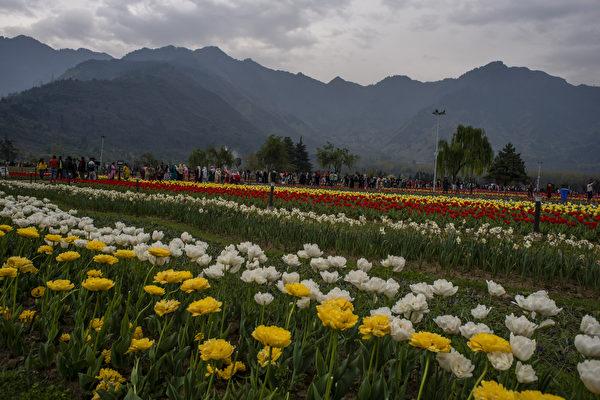 组图:印度斯利那加郁金香花园为亚洲最大