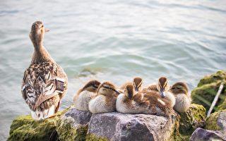 为什么喂鸭子吃面包会害了它们?