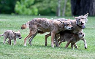 抓到了!這條襲擊小狗的郊狼