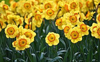 水仙花日取消 花農大片水仙花或只能浪費掉