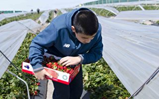 勞動力短缺 草莓農場提前向公眾開放採摘