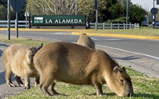 世界最大隻老鼠 成群湧入阿根廷高級社區
