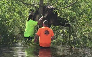 颶風艾達橫掃美國路州後 一頭牛卡在樹上