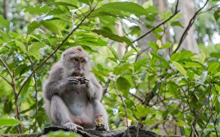 疫情下游客喂食大减 印尼猴子开始打家劫舍