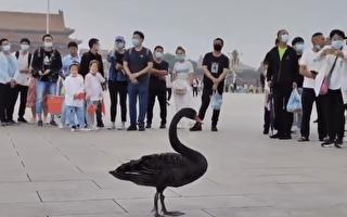 習籲防黑天鵝 黑天鵝就來天安門 引圍觀