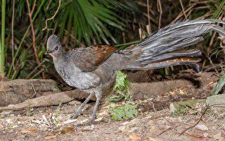 澳洲琴鳥模仿嬰兒哭聲 如原音重現