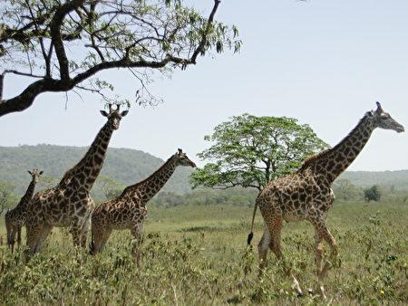 國家公園野生動物保護區的長頸鹿。(坦尚尼亞)