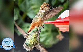 精采瞬間 「惡霸」蜂鳥為爭食抓住對手長喙