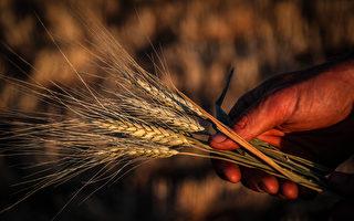 新州冬季穀物大豐收 急需收割工人