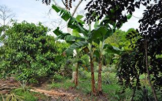 璨樹吹襲台東「700棵香蕉樹全倒光」農民損失慘重