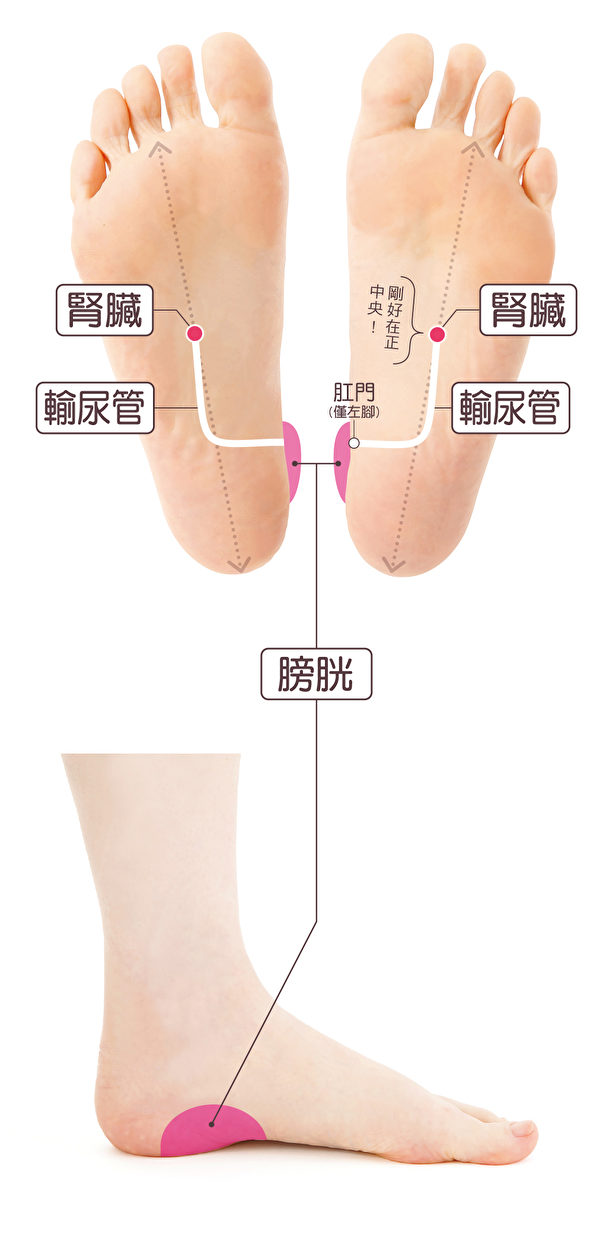 腎臟(輸尿管)、膀胱,是一開始就要刺激與排出不必要新陳代謝產物息息相關的器官。(蘋果屋提供)