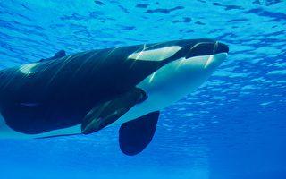 被关40余年心理崩溃 加拿大虎鲸用头撞墙