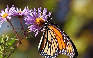 美国善心女子修补破损的翅膀 蝴蝶重获新生
