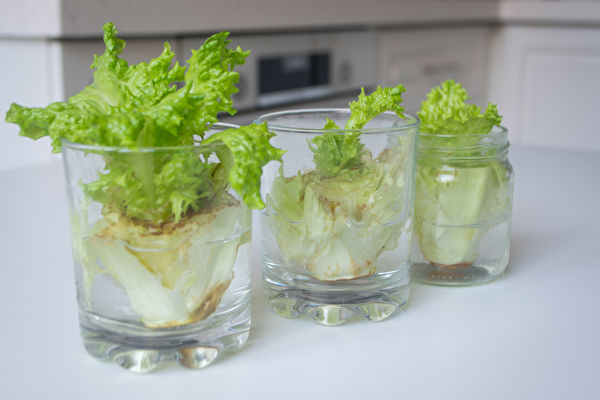 Growing,Lettuce,In,Water,From,Scraps,In,Kitchen,And,On,生菜,水杯蔬菜