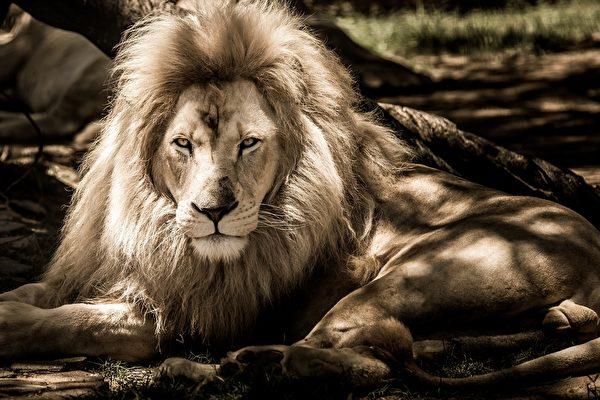 肯尼亚野生动物保护区中最年长的狮子