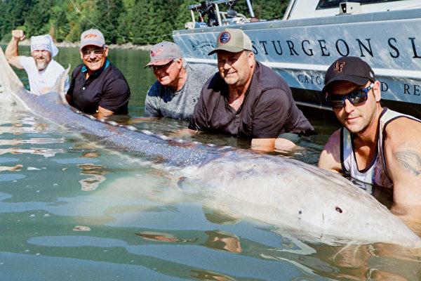 溫哥華釣魚嚮導獲11英尺巨鱘魚 申請吉尼斯