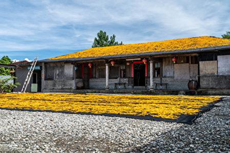 采摘铺晒金针花形成金黄地毯。
