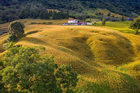 花莲县赤科山金针种植面积达300公顷。