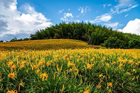 今年赤科山金针共留花65公顷,花季从8/7起至10/14为止。