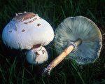 误食野菇酿中毒 祸首是绿褶菇