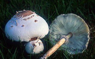 誤食野菇釀中毒 禍首是綠褶菇