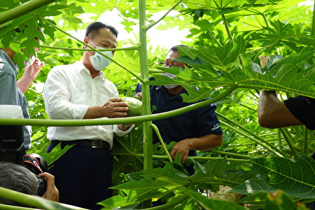 嘉義縣長翁章梁在網室內摘取一顆大木瓜,場主解釋比較大顆是新研發的黃尚木瓜。