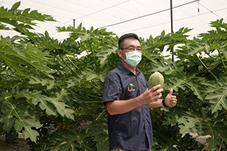 水上青農會長黃聖斌表示,為了因應斜切鮮切的水果,開發了黃尚木爪,比台農二號木瓜大了許多。