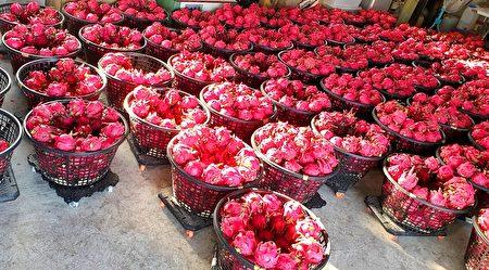 為了種出甜美果實,阿裕說,「每天都在跟時間賽跑,跟烈日抗戰。」