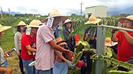 阿裕教遊客如何採摘成熟火龍果。