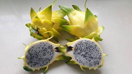 阿裕試種的黃皮白肉火龍果。