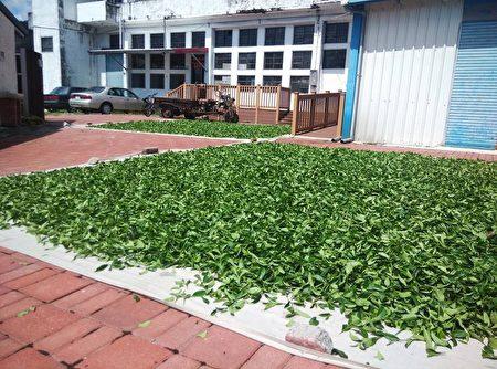 新元昌循传统方法让茶叶晒太阳。