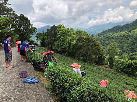 游客体验茶园采茶。